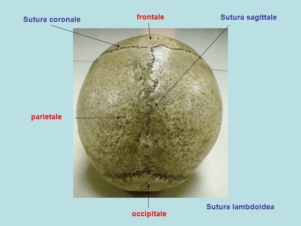frontale occipitale parietale Sutura coronale Sutura sagittale Sutura lambdoidea