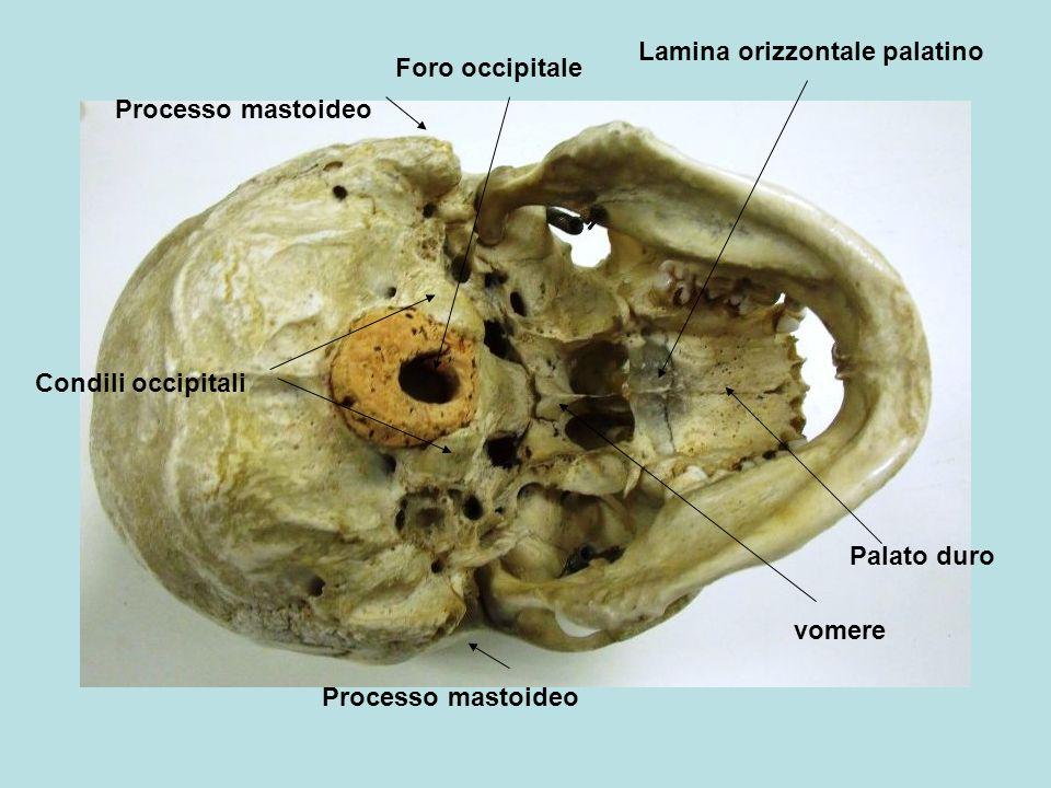 Condili occipitali Foro occipitale Processo mastoideo Lamina orizzontale palatino vomere Palato duro