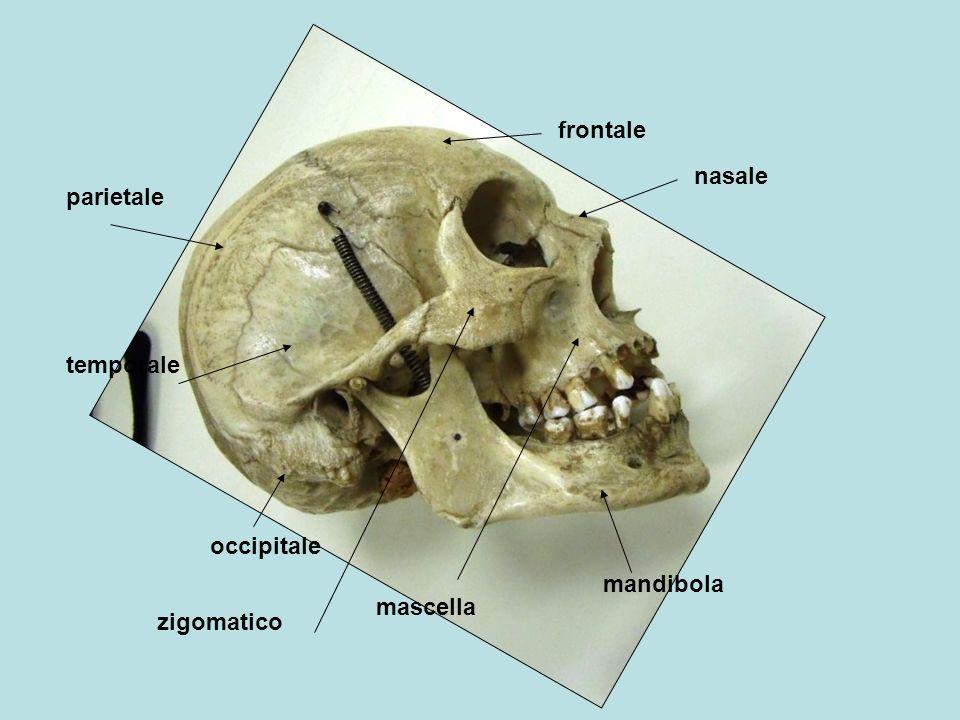 frontale parietale occipitale temporale mascella zigomatico mandibola nasale