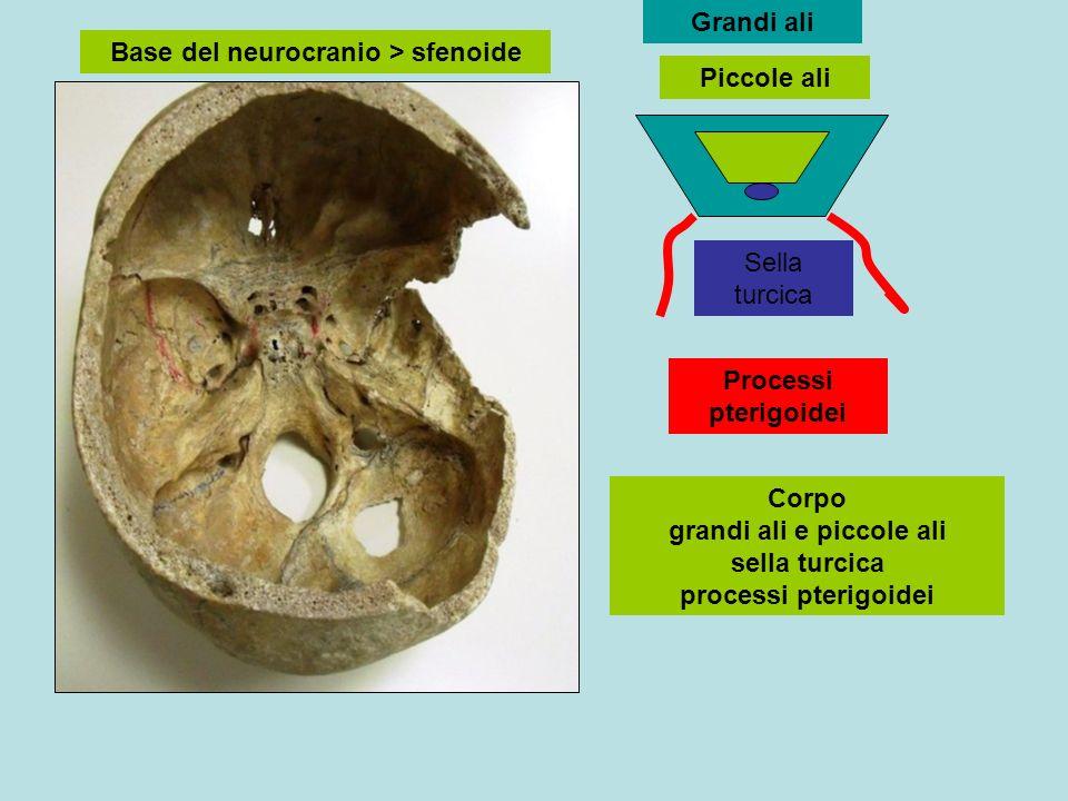 Base del neurocranio > sfenoide Grandi ali Piccole ali Sella turcica Processi pterigoidei Corpo grandi ali e piccole ali sella turcica processi pterig
