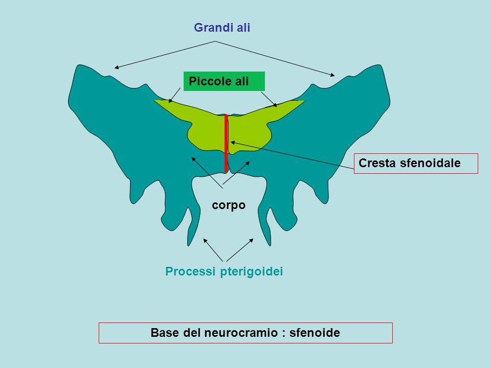 Grandi ali Piccole ali Processi pterigoidei corpo Cresta sfenoidale Base del neurocramio : sfenoide