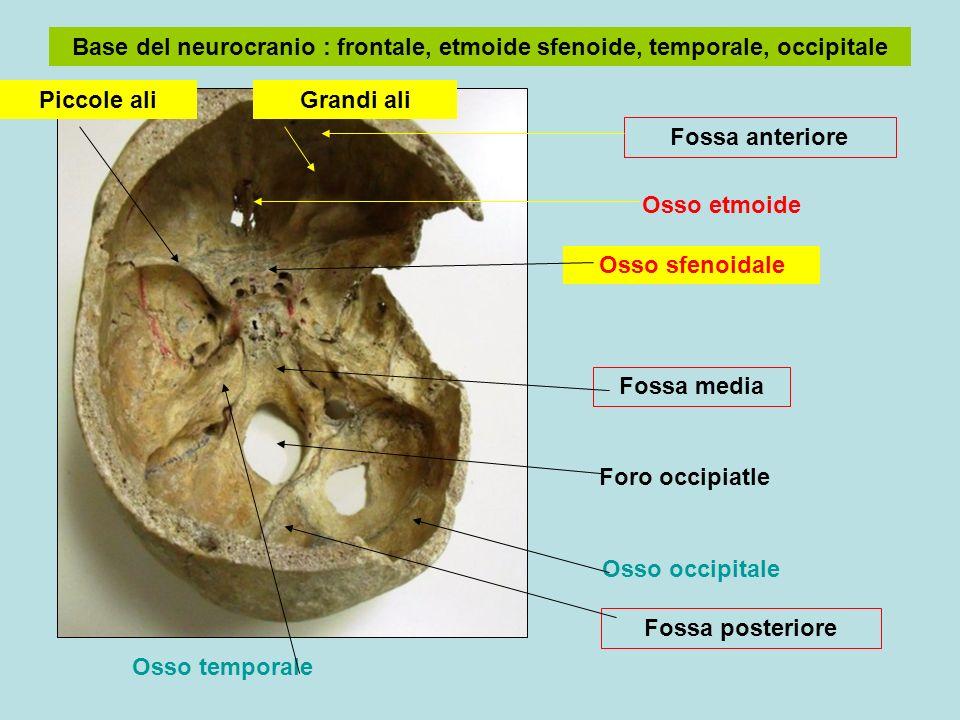 Base del neurocranio : frontale, etmoide sfenoide, temporale, occipitale Osso sfenoidale Osso temporale Foro occipiatle Fossa media Osso etmoide Fossa