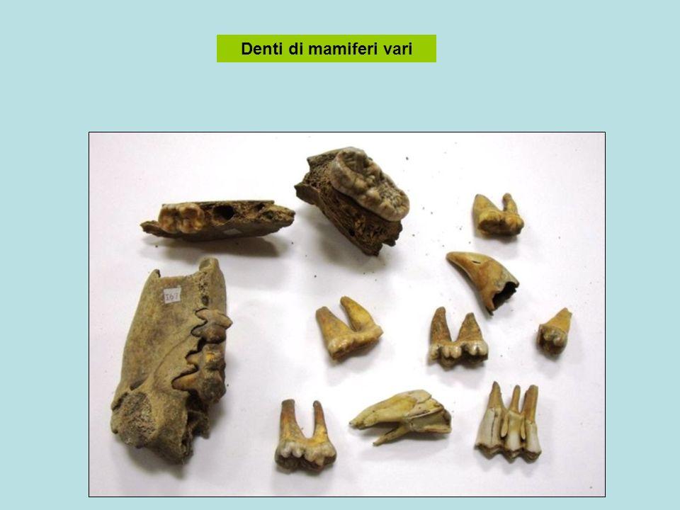 Denti di mamiferi vari