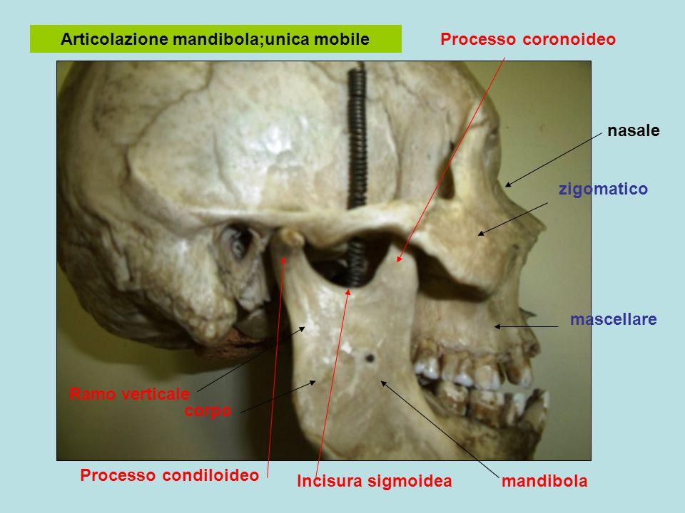mandibola Articolazione mandibola;unica mobile zigomatico mascellare Incisura sigmoidea Processo coronoideo Processo condiloideo corpo Ramo verticale