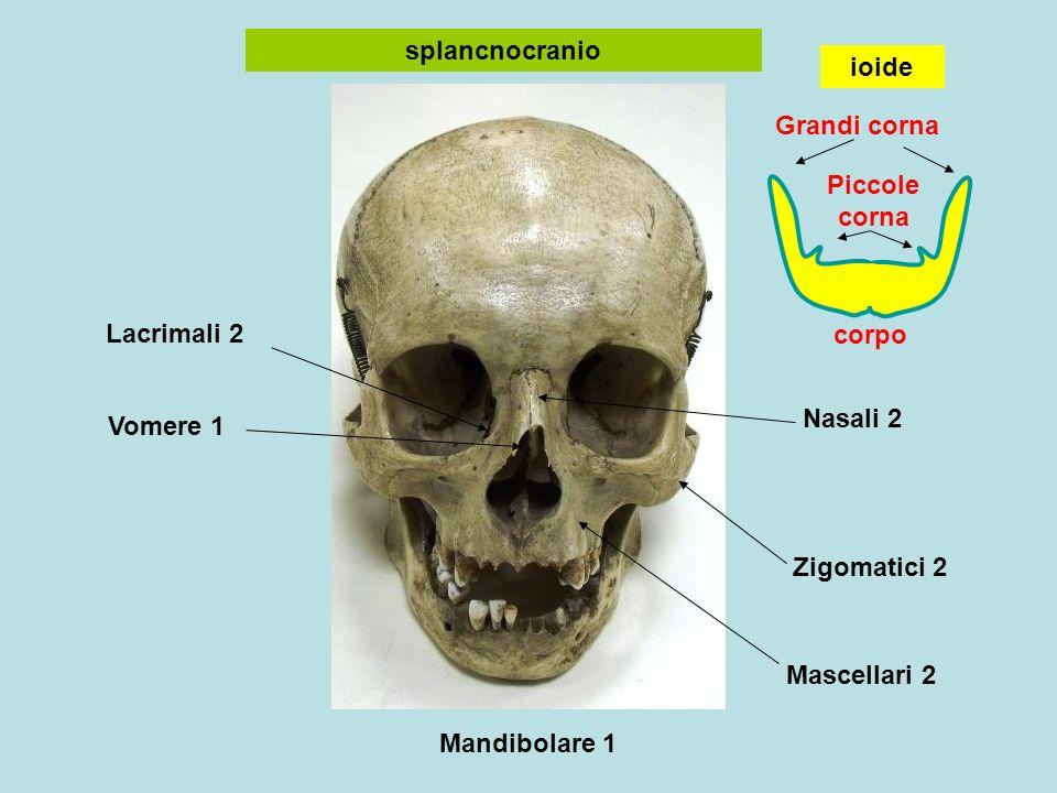 Nasali 2 Zigomatici 2 Mascellari 2 Mandibolare 1 Vomere 1 Lacrimali 2 splancnocranio corpo Grandi corna Piccole corna ioide