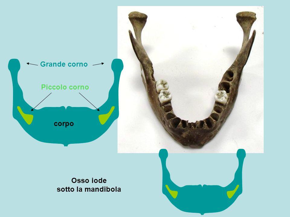 Osso iode sotto la mandibola corpo Piccolo corno Grande corno
