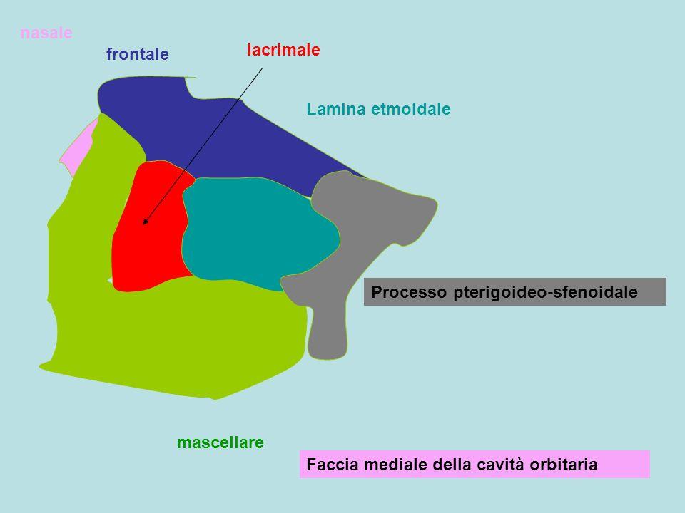 frontale lacrimale Lamina etmoidale Processo pterigoideo-sfenoidale mascellare nasale Faccia mediale della cavità orbitaria