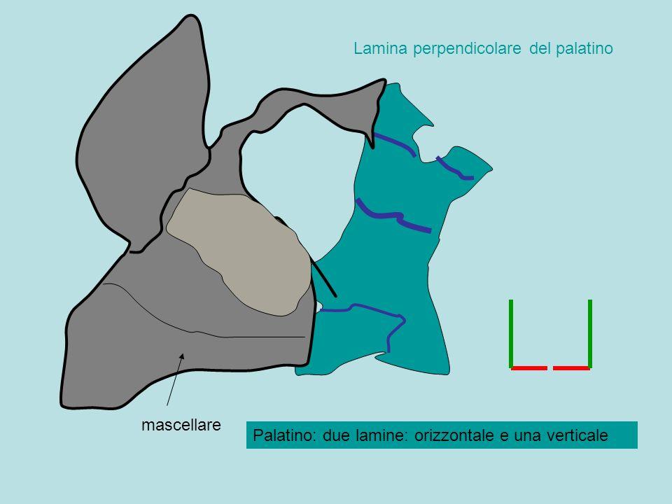 mascellare Lamina perpendicolare del palatino Palatino: due lamine: orizzontale e una verticale