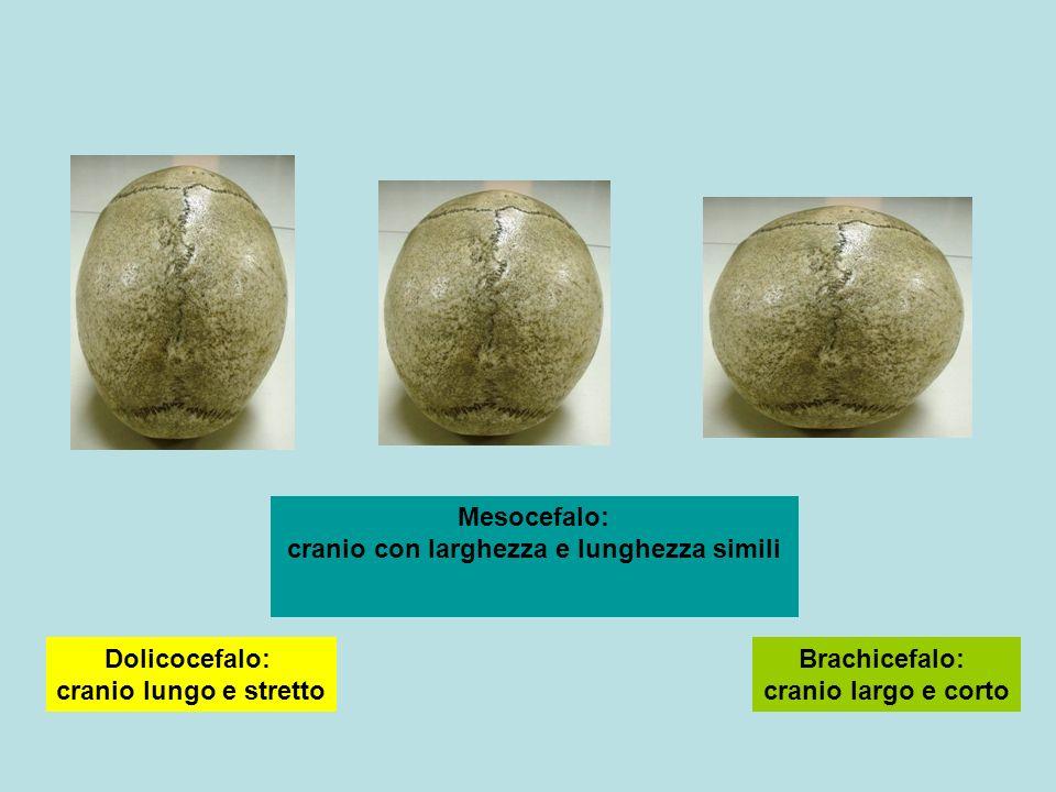 Brachicefalo: cranio largo e corto Dolicocefalo: cranio lungo e stretto Mesocefalo: cranio con larghezza e lunghezza simili
