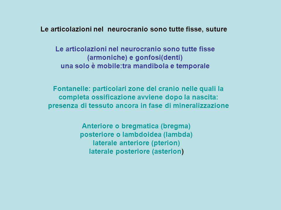 Le articolazioni nel neurocranio sono tutte fisse, suture Le articolazioni nel neurocranio sono tutte fisse (armoniche) e gonfosi(denti) una solo è mo