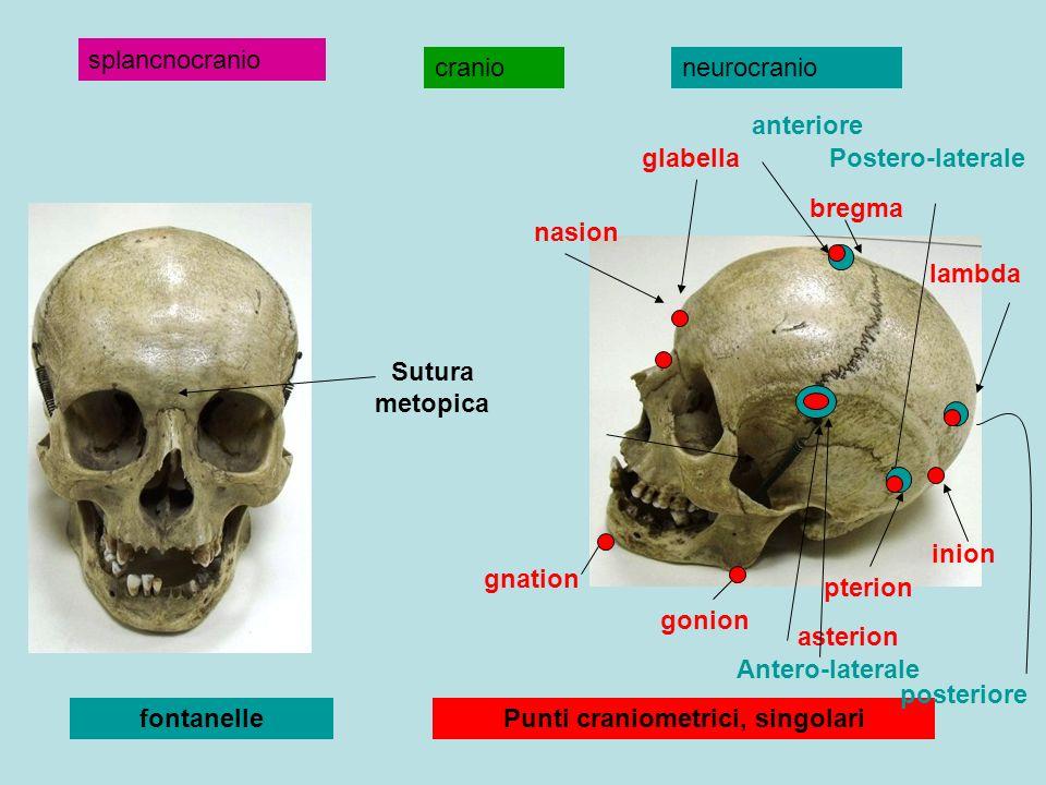 cranioneurocranio splancnocranio gnation gonion pterion inion lambda bregma nasion glabella Punti craniometrici, singolarifontanelle anteriore posteri