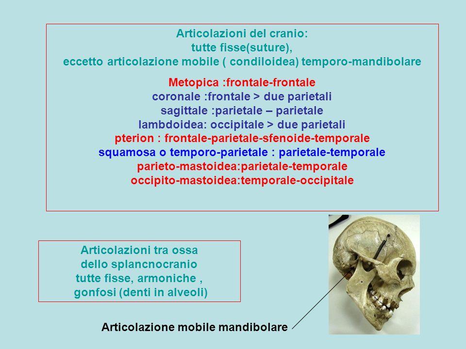 Articolazioni del cranio: tutte fisse(suture), eccetto articolazione mobile ( condiloidea) temporo-mandibolare Metopica :frontale-frontale coronale :f