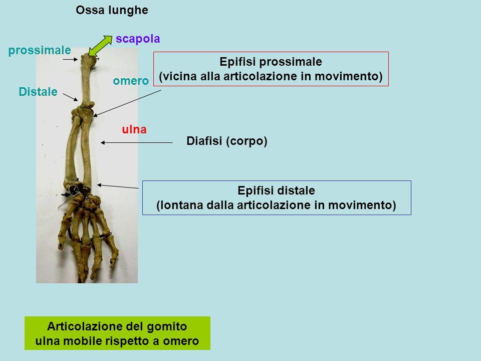 Ossa lunghe Epifisi prossimale (vicina alla articolazione in movimento) Epifisi distale (lontana dalla articolazione in movimento) Diafisi (corpo) Art