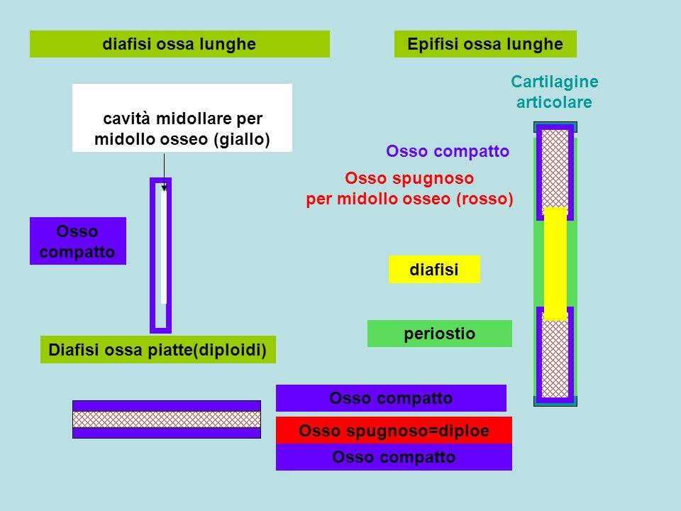 diafisi ossa lunghe cavità midollare per midollo osseo (giallo) Osso compatto Epifisi ossa lunghe Osso compatto Osso spugnoso per midollo osseo (rosso