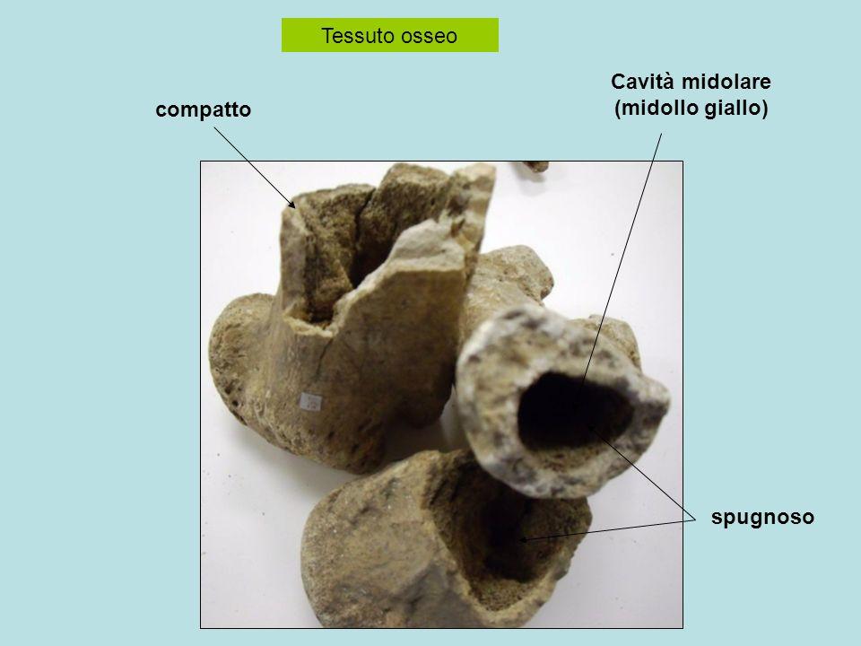 Tessuto osseo compatto spugnoso Cavità midolare (midollo giallo)