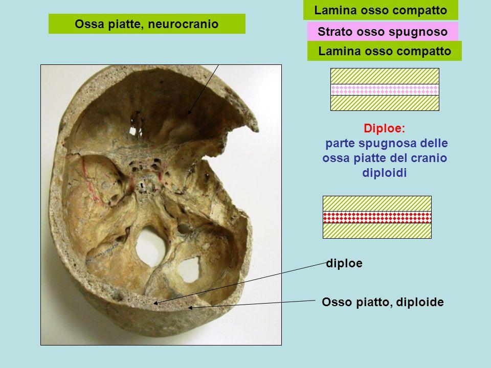 Ossa piatte, neurocranio Osso piatto, diploide diploe Diploe: parte spugnosa delle ossa piatte del cranio diploidi Lamina osso compatto Strato osso sp