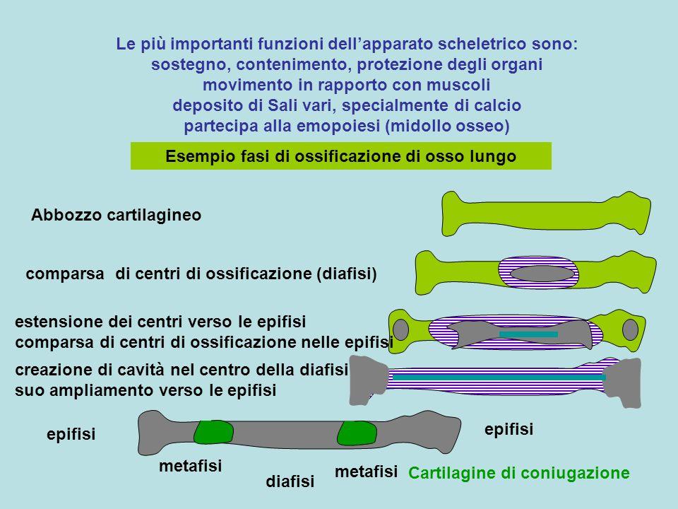 Le più importanti funzioni dellapparato scheletrico sono: sostegno, contenimento, protezione degli organi movimento in rapporto con muscoli deposito d
