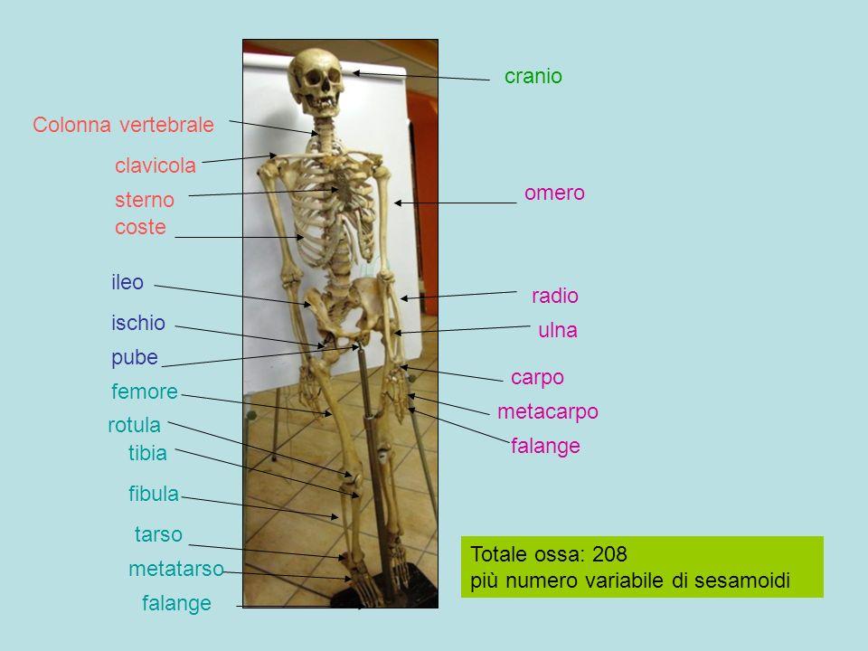 Cranio :neurocranio (8), splancnocranio (faccia) (14) Tronco :colonna vertebrale, gabbia toracica, bacino Arti: superiore Cinti :scapolare Arti :inferiore Cinti :pelvico