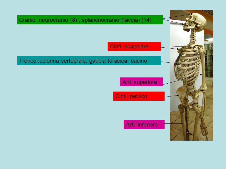 Cranio :neurocranio (8), splancnocranio (faccia) (14) Tronco :colonna vertebrale, gabbia toracica, bacino Arti: superiore Cinti :scapolare Arti :infer