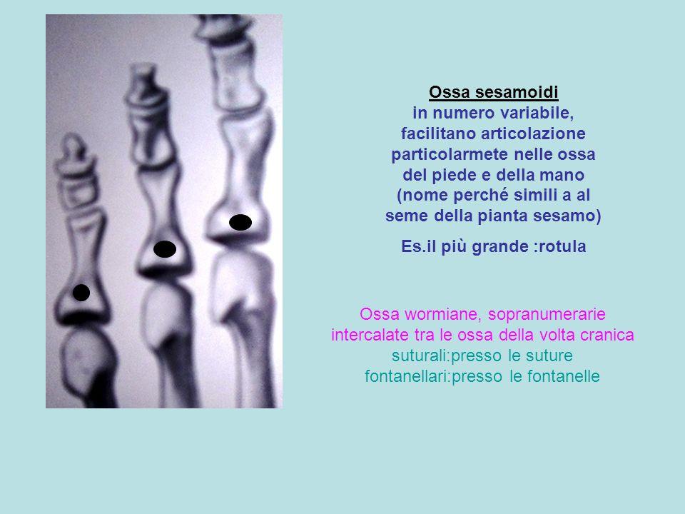 Ossa sesamoidi in numero variabile, facilitano articolazione particolarmete nelle ossa del piede e della mano (nome perché simili a al seme della pian