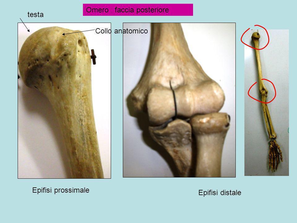 Epifisi prossimale Epifisi distale Omero : faccia posteriore Collo anatomico
