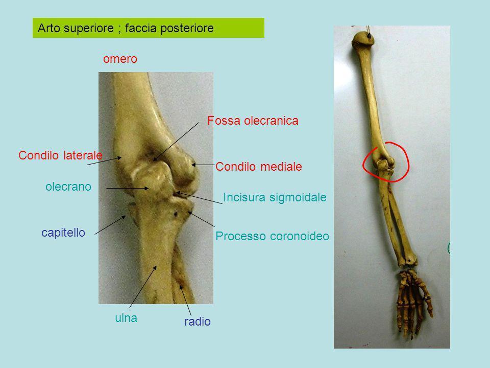 Arto superiore ; faccia posteriore omero ulna radio olecrano Incisura sigmoidale capitello Processo coronoideo Condilo mediale Condilo laterale Fossa