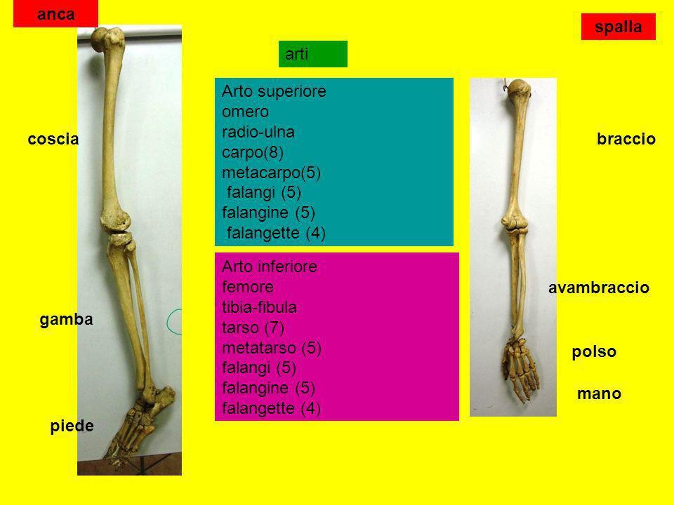 arti Arto superiore omero radio-ulna carpo(8) metacarpo(5) falangi (5) falangine (5) falangette (4) Arto inferiore femore tibia-fibula tarso (7) metat