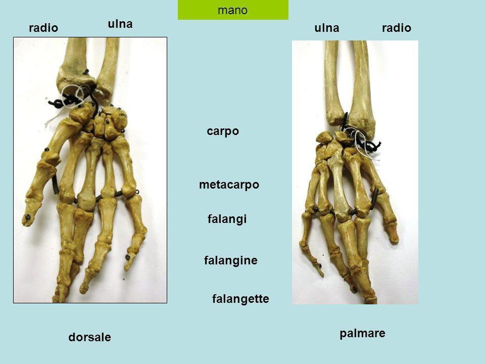 mano dorsale palmare radio ulna radioulna carpo metacarpo falangi falangine falangette