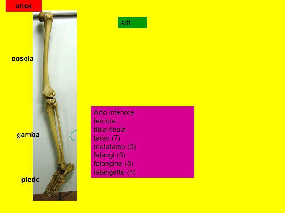 arti Arto inferiore femore tibia-fibula tarso (7) metatarso (5) falangi (5) falangine (5) falangette (4) coscia gamba piede anca