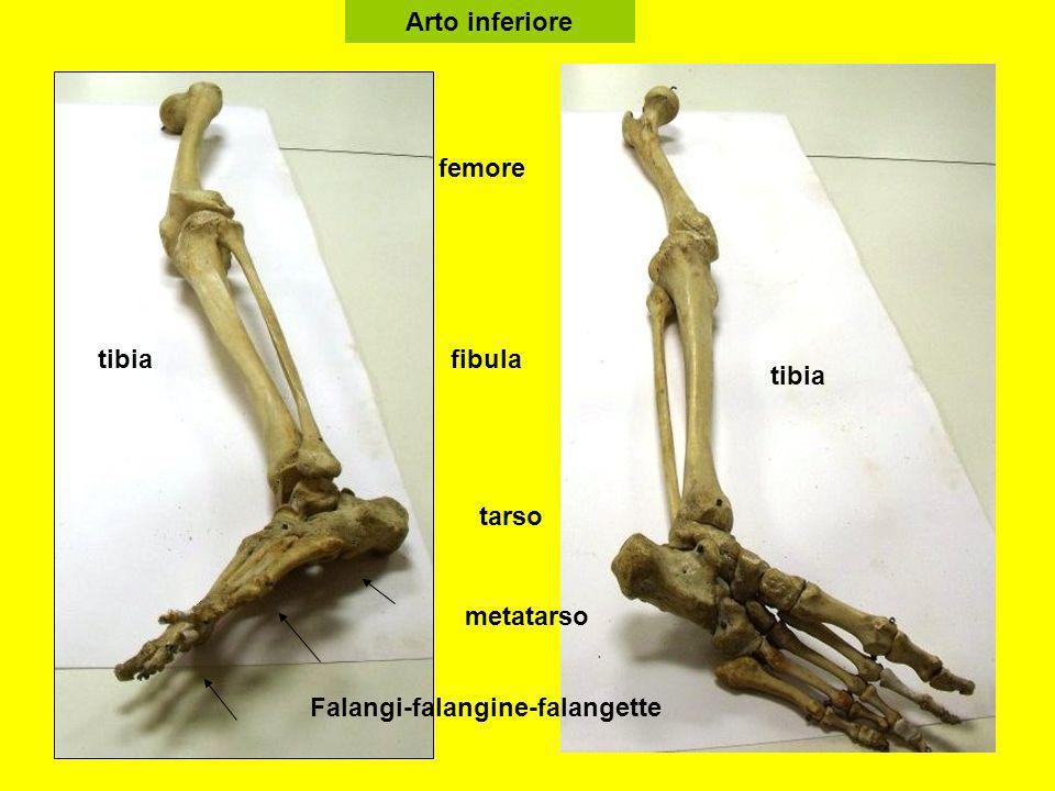 Arto inferiore femore tibiafibula tarso tibia Falangi-falangine-falangette metatarso