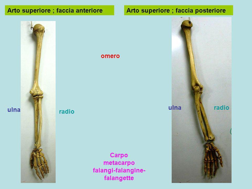 Arto superiore ; faccia posteriore omero radioulna Carpo metacarpo falangi-falangine- falangette Arto superiore ; faccia anteriore radio ulna
