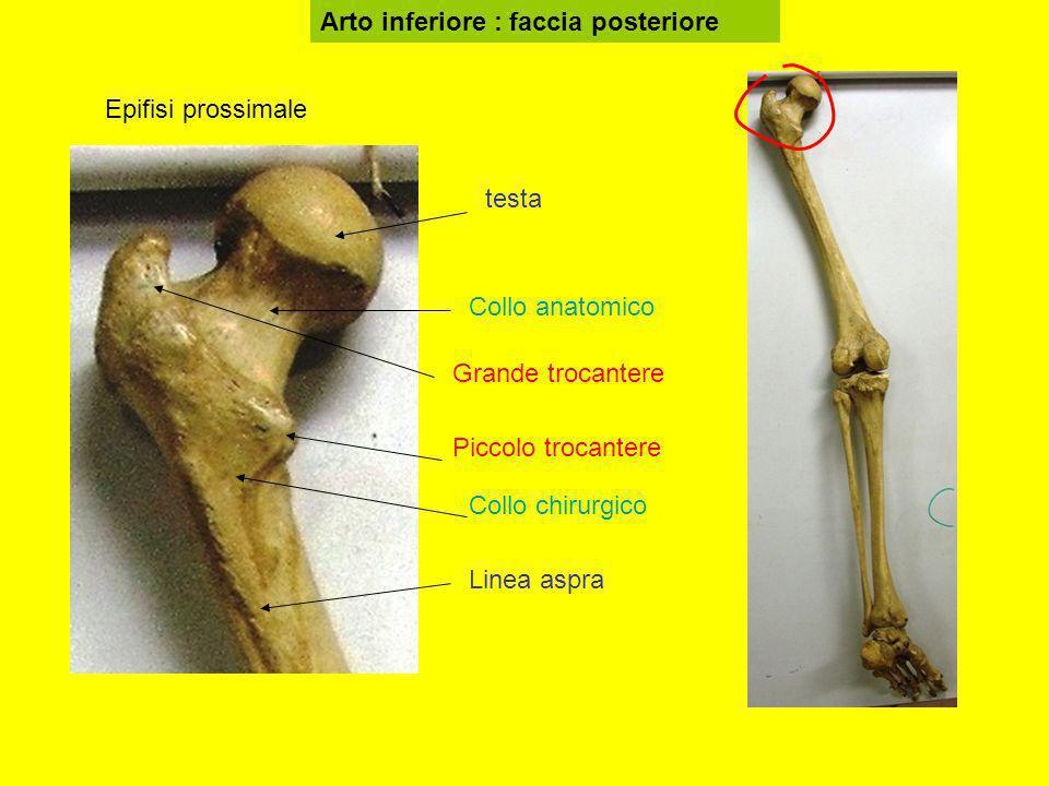Arto inferiore : faccia posteriore testa Grande trocantere Piccolo trocantere Collo anatomico Linea aspra Collo chirurgico Epifisi prossimale