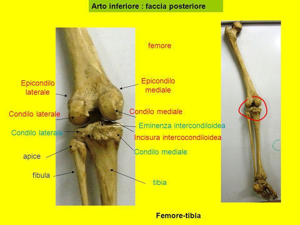 Arto inferiore : faccia posteriore femore tibia fibula Epicondilo mediale Epicondilo laterale Condilo mediale Condilo laterale Incisura intercocondilo
