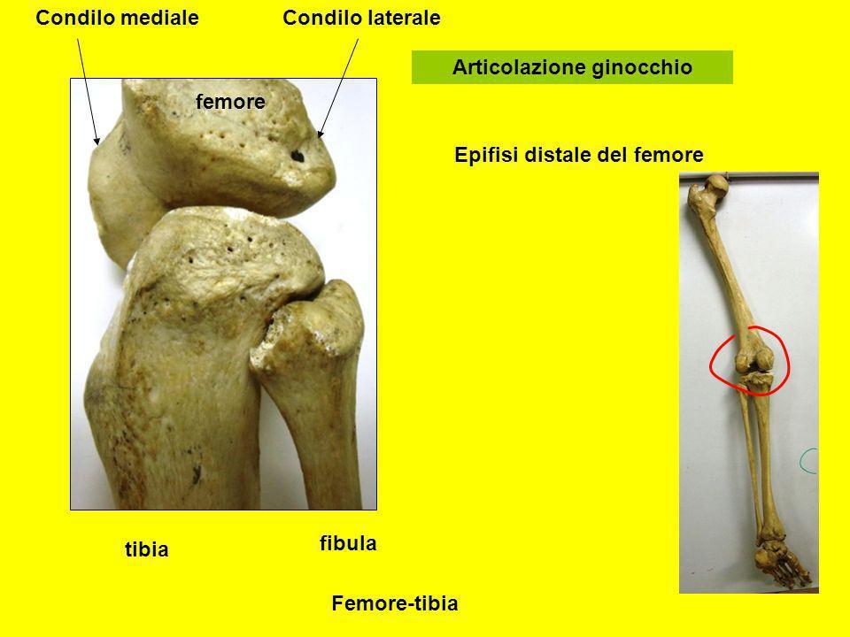 tibia fibula femore Articolazione ginocchio Epifisi distale del femore Condilo medialeCondilo laterale Femore-tibia