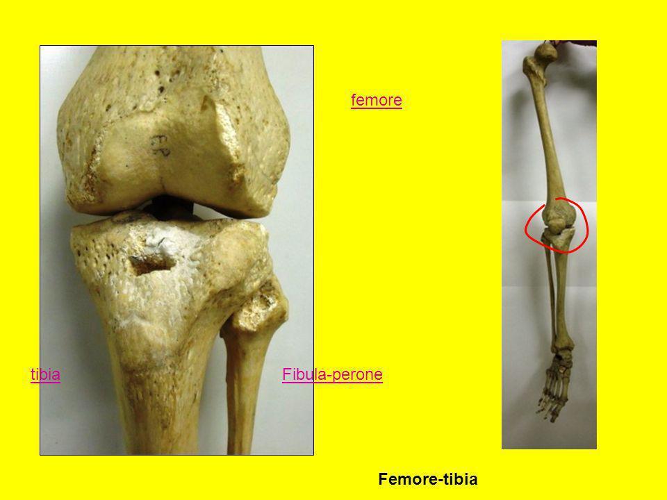 femore tibiaFibula-perone Femore-tibia