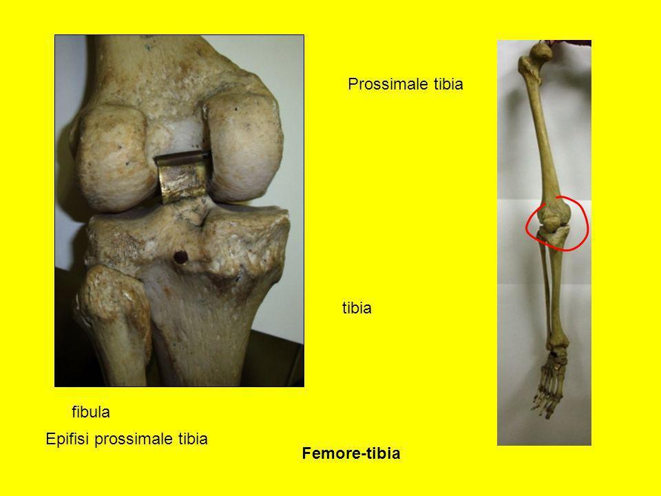 Prossimale tibia Epifisi prossimale tibia tibia fibula Femore-tibia