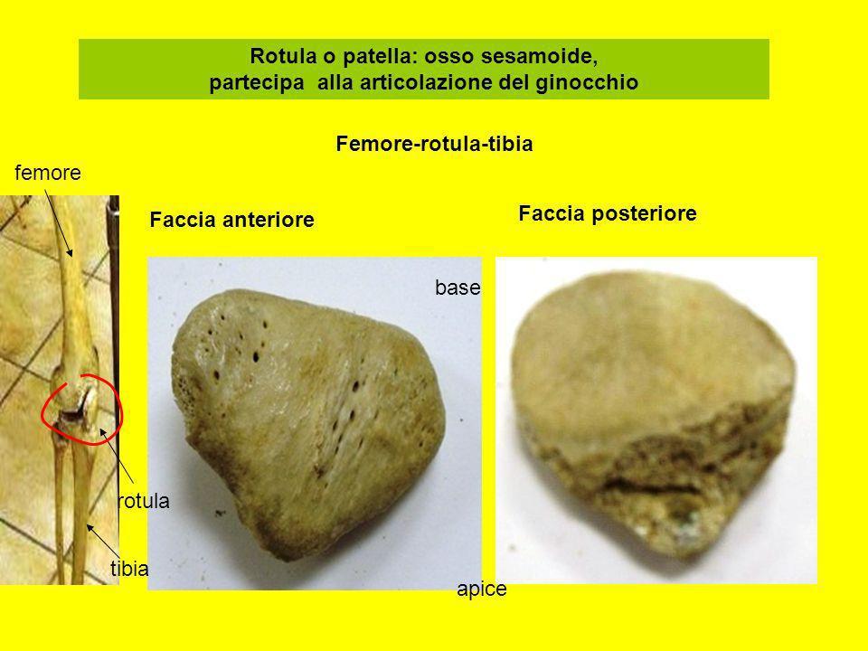 Rotula o patella: osso sesamoide, partecipa alla articolazione del ginocchio Faccia anteriore Faccia posteriore base apice femore tibia rotula Femore-
