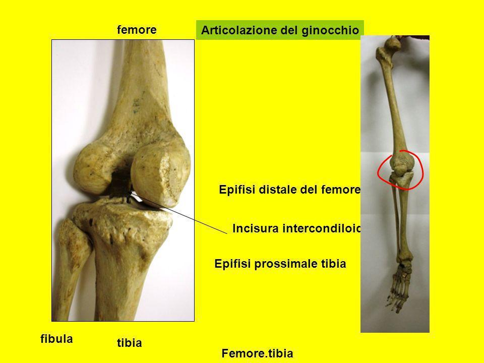 femore tibia fibula Articolazione del ginocchio Epifisi distale del femore con condili Incisura intercondiloidea Epifisi prossimale tibia Femore.tibia