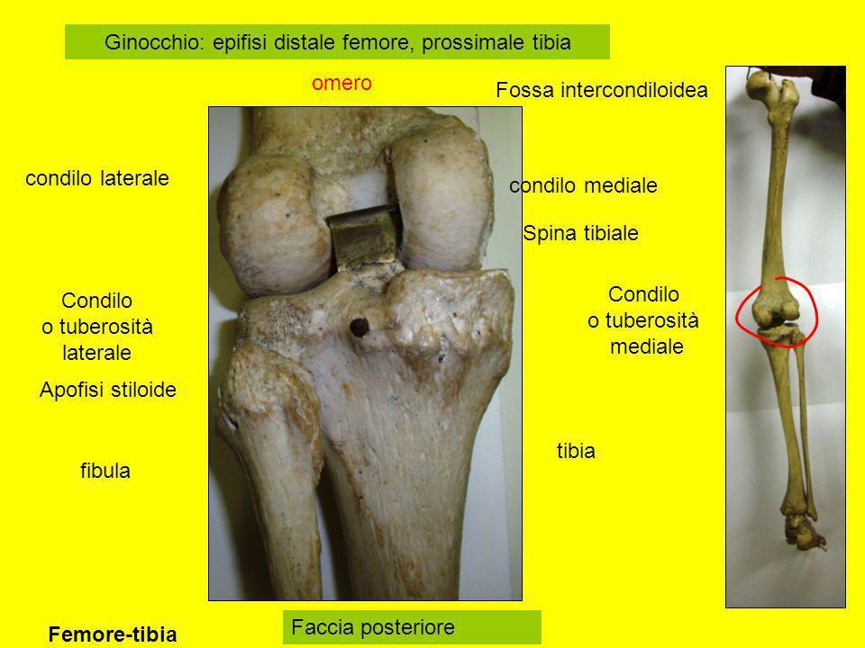 tibia fibula Ginocchio: epifisi distale femore, prossimale tibia omero Condilo o tuberosità mediale Condilo o tuberosità laterale Spina tibiale Apofis