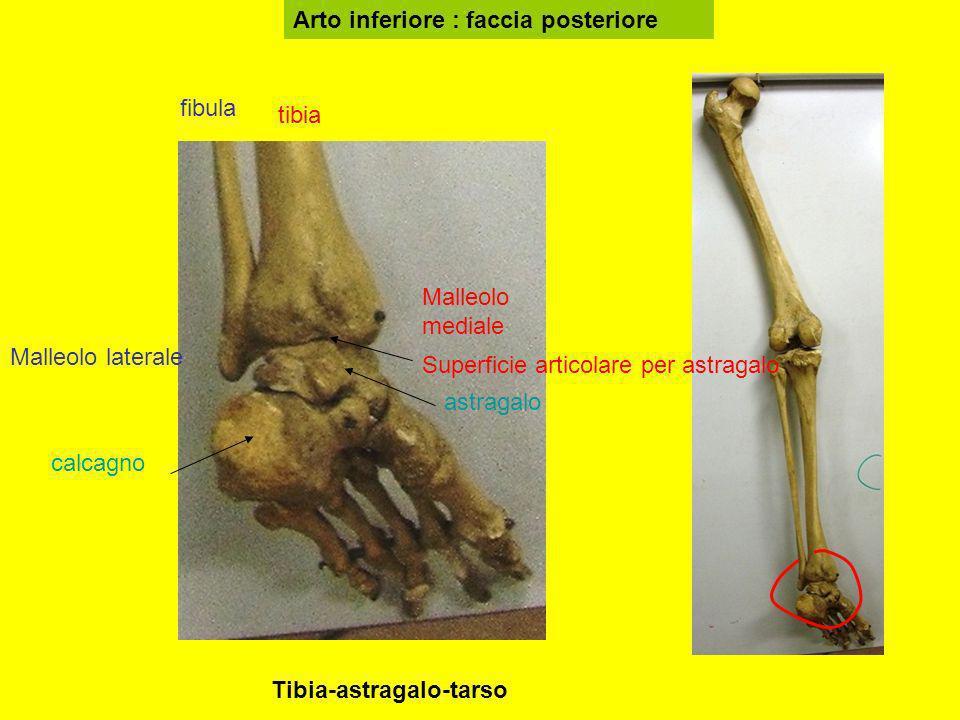 Arto inferiore : faccia posteriore tibia fibula Malleolo mediale Malleolo laterale astragalo calcagno Superficie articolare per astragalo Tibia-astrag