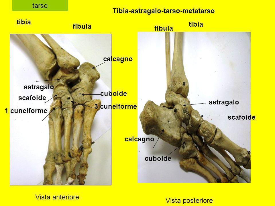 tarso Vista anteriore Vista posteriore tibia fibula astragalo cuboide scafoide 1 cuneiforme 3 cuneiforme calcagno tibia fibula calcagno astragalo scaf