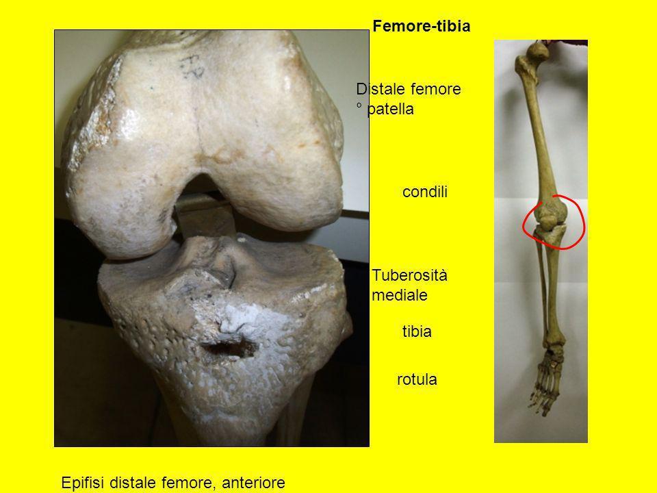 Distale femore ° patella Epifisi distale femore, anteriore tibia Tuberosità mediale condili rotula Femore-tibia
