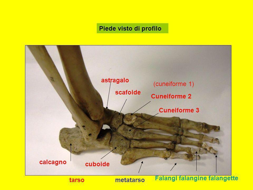 Piede visto di profilo calcagno astragalo scafoide cuboide Cuneiforme 2 Cuneiforme 3 (cuneiforme 1) tarsometatarso Falangi falangine falangette
