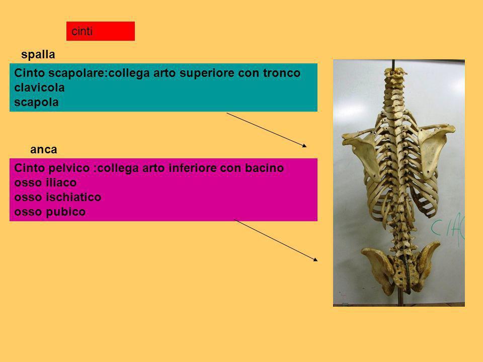 cinti Cinto scapolare:collega arto superiore con tronco clavicola scapola Cinto pelvico :collega arto inferiore con bacino osso iliaco osso ischiatico