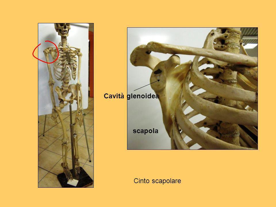 scapola Cavità glenoidea Cinto scapolare