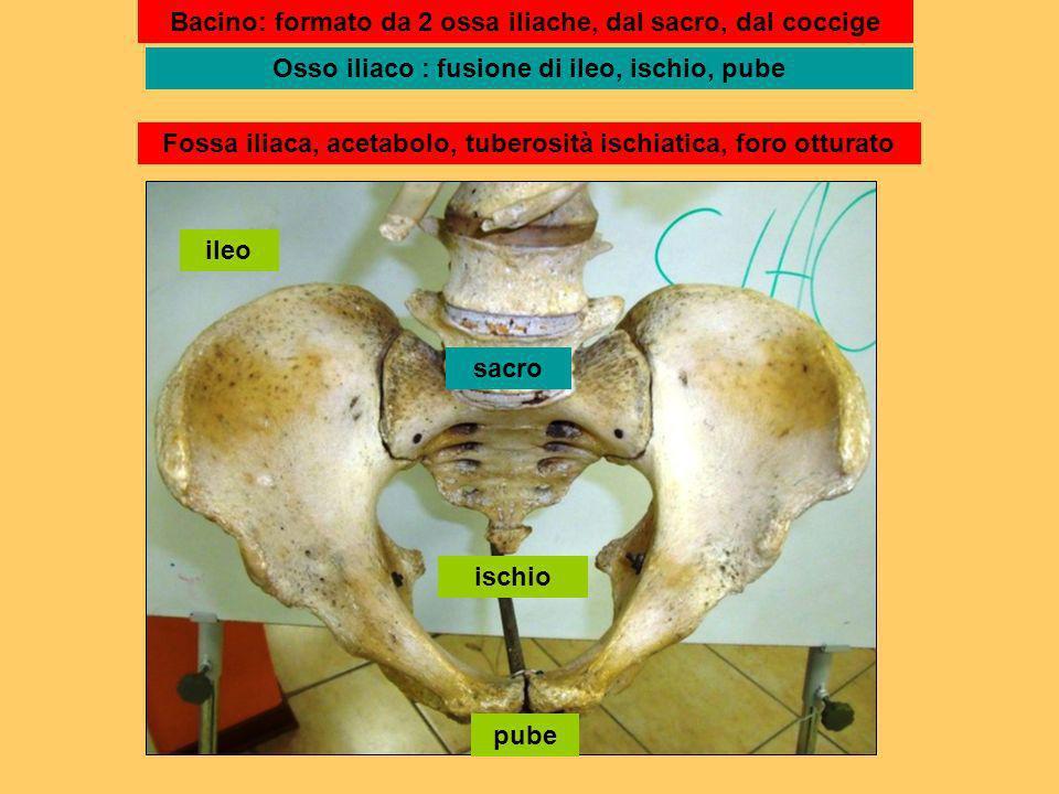 ileo ischio pube sacro Bacino: formato da 2 ossa iliache, dal sacro, dal coccige Osso iliaco : fusione di ileo, ischio, pube Fossa iliaca, acetabolo,
