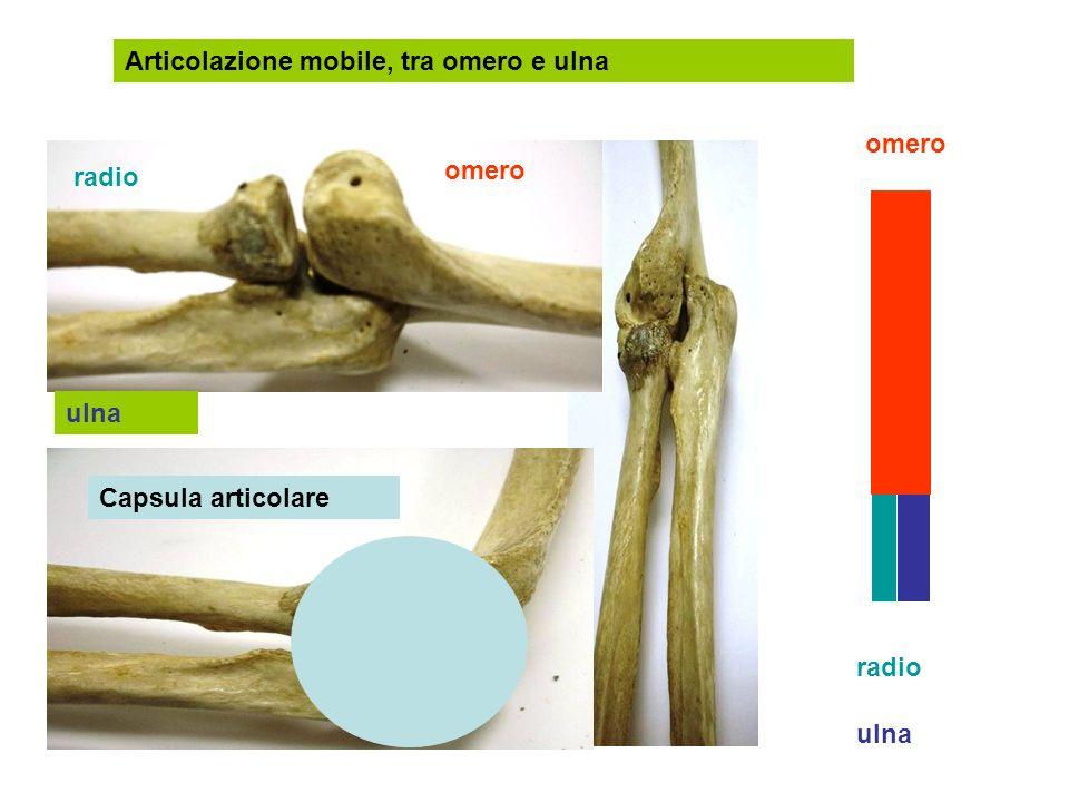 Articolazione mobile, tra omero e ulna radio ulna omero radio ulna Capsula articolare