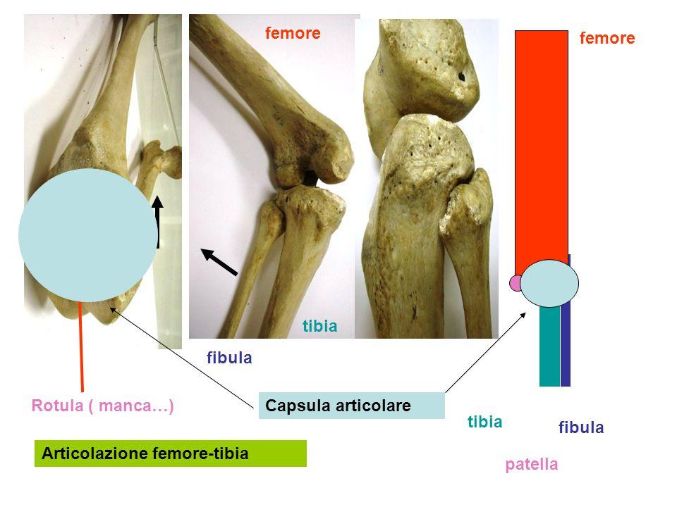 Articolazione femore-tibia femore tibia fibula patella femore tibia fibula Rotula ( manca…)Capsula articolare