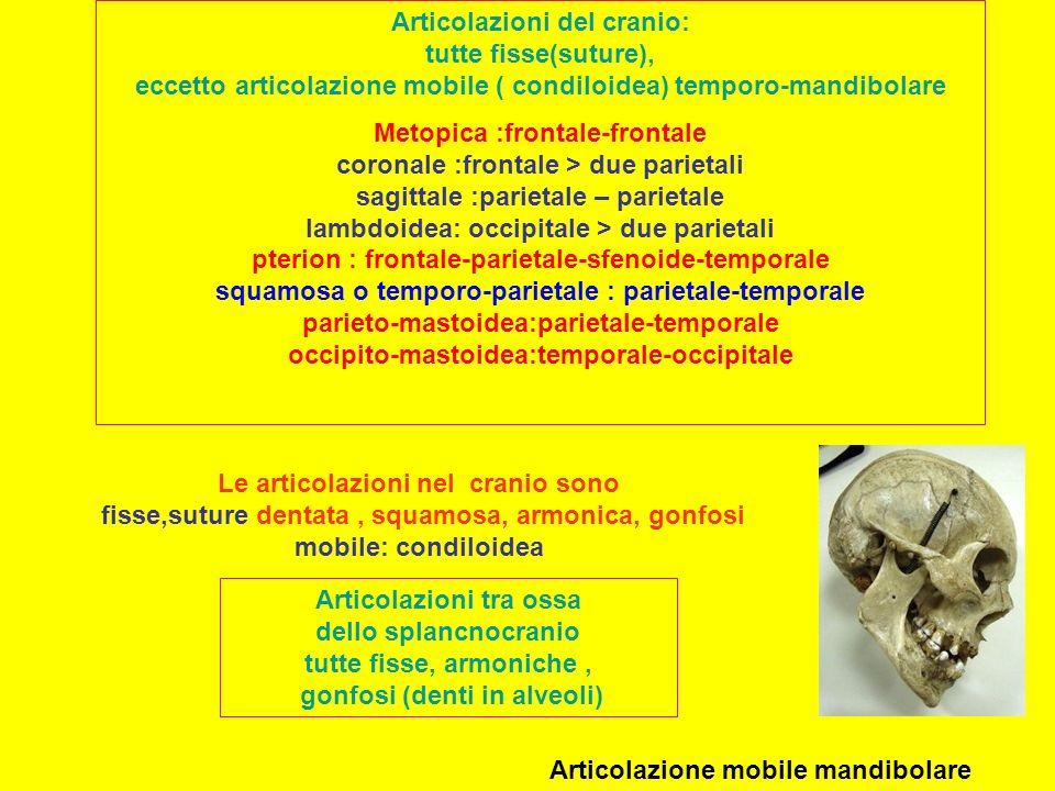 Articolazioni del cranio: tutte fisse(suture), eccetto articolazione mobile ( condiloidea) temporo-mandibolare Metopica :frontale-frontale coronale :frontale > due parietali sagittale :parietale – parietale lambdoidea: occipitale > due parietali pterion : frontale-parietale-sfenoide-temporale squamosa o temporo-parietale : parietale-temporale parieto-mastoidea:parietale-temporale occipito-mastoidea:temporale-occipitale Articolazioni tra ossa dello splancnocranio tutte fisse, armoniche, gonfosi (denti in alveoli) Articolazione mobile mandibolare Le articolazioni nel cranio sono fisse,suture dentata, squamosa, armonica, gonfosi mobile: condiloidea
