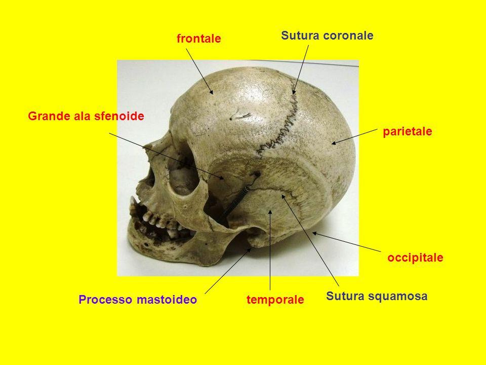 frontale parietale occipitale temporale Sutura coronale Sutura squamosa Grande ala sfenoide Processo mastoideo
